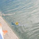 これまで見かけなかった魚が最近「阪神西宮駅前の川」に出没するみたい