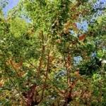 JR甲子園口のイチョウ並木にめっちゃいっぱいギンナンなってる 【西宮フォト】