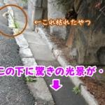 香櫨園あたりのアスファルトの隙間からど根性ユリ【西宮のがんばる植物】