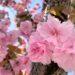 まだ桜が満開の場所があるみたい 【西宮フォト】