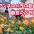 西宮のバラ園『アンネのバラの教会』【西宮フォト】