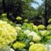 今年も夙川で紫陽花が綺麗に咲いてる 【動画あり】【西宮フォト】