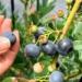 甲山ブルーベリーファームで数十種類のブルーベリーを食べ比べしてきた