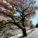 甲子園口新堀川ぞいの桜の木が撤去されるみたい。11月23~27日の間に
